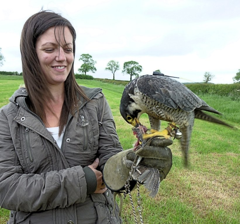 Hen Party Sophie feeding a peregrine falcon