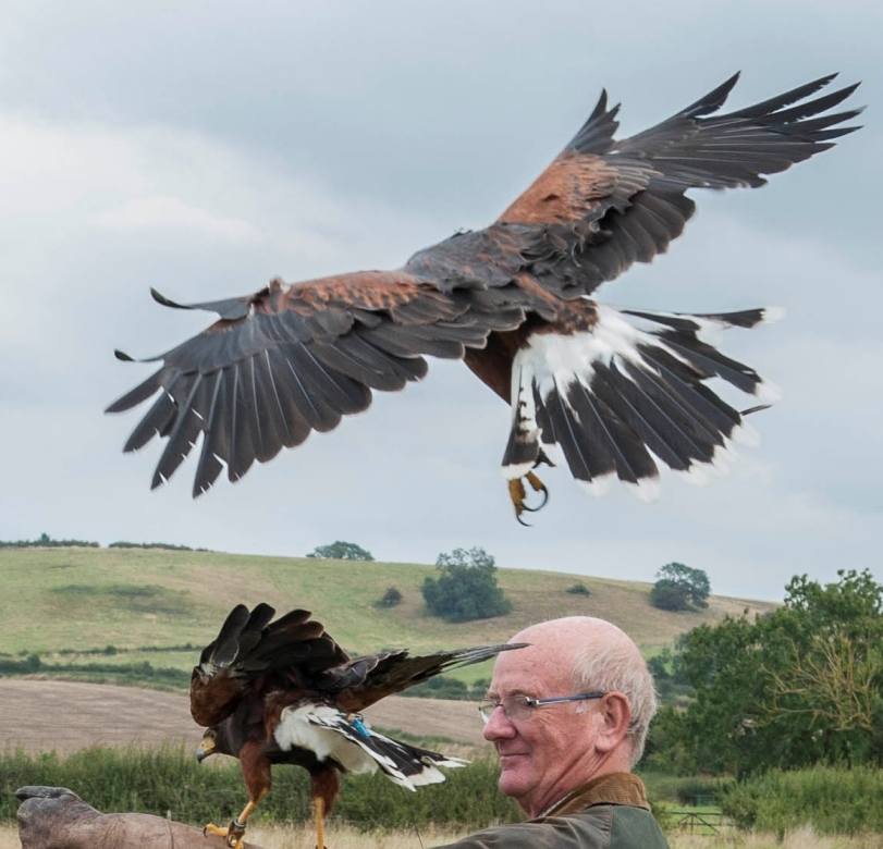wedding falconry  Harris hawks flying to the fist