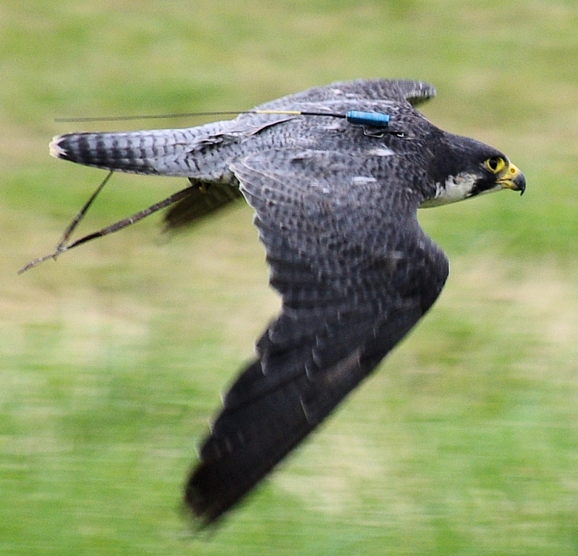 wedding falconry peregrine falcon flying