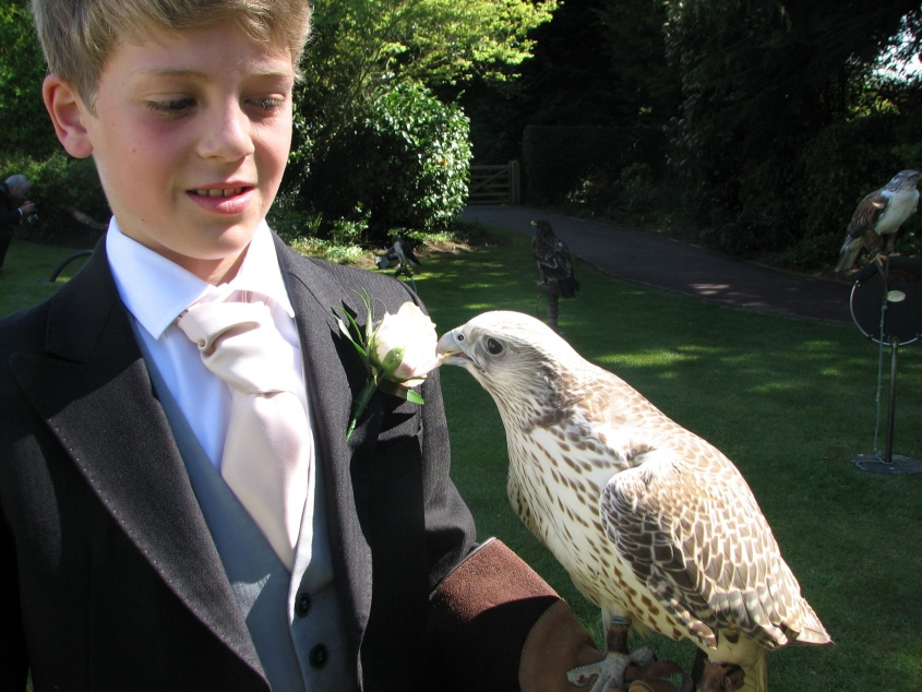 Wedding guest gyrfalcon eating buttonhole