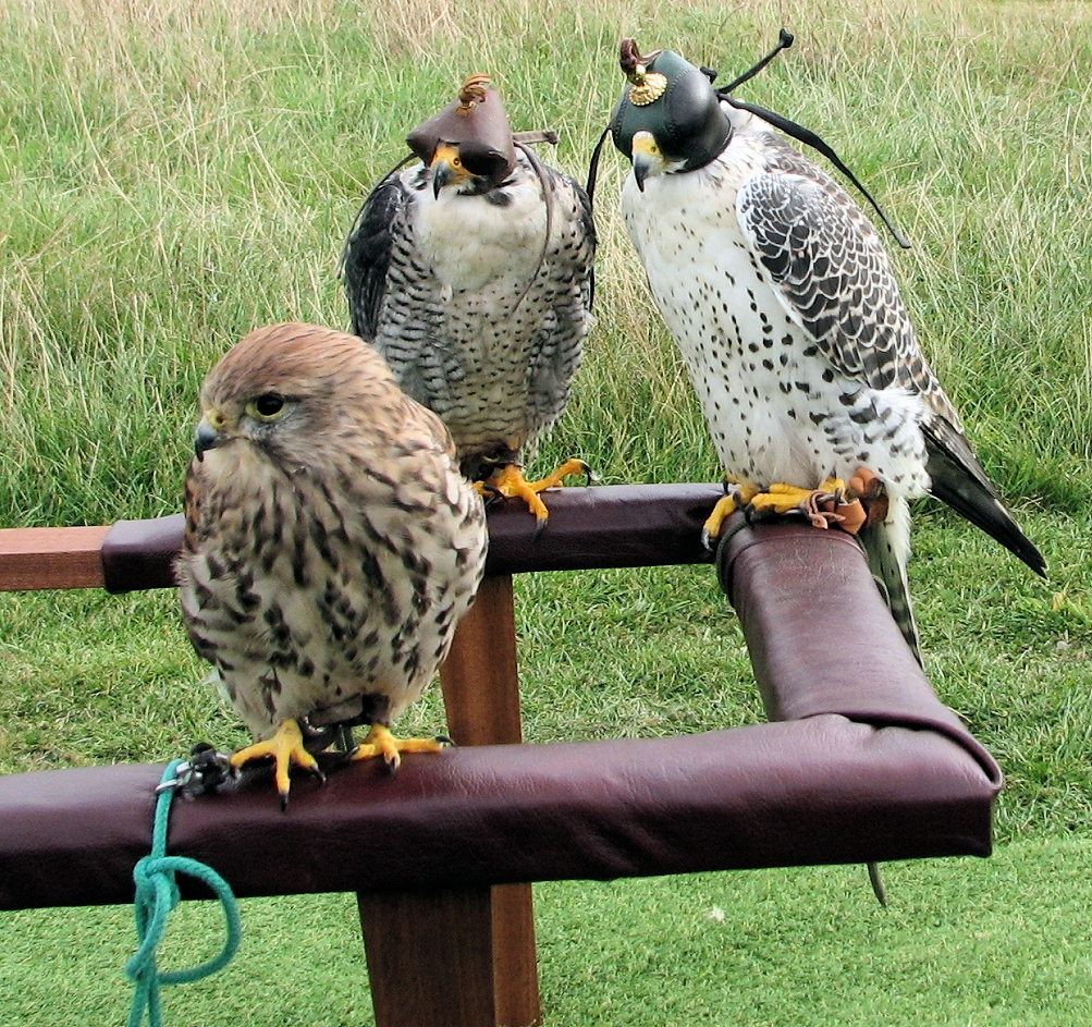 Falconry. Falconer with traditional cadge with peregrine falcon,  lanner falcon,and kestrel